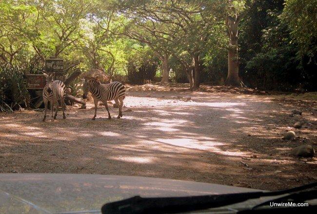 Zebras at AutoSafari Chapin Guatemala