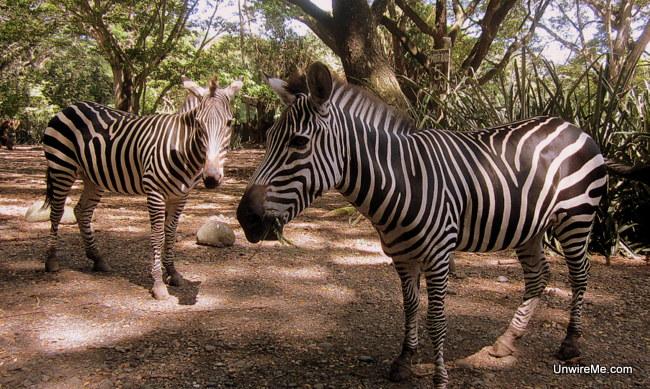 AutoSafari Chapin - Zebras