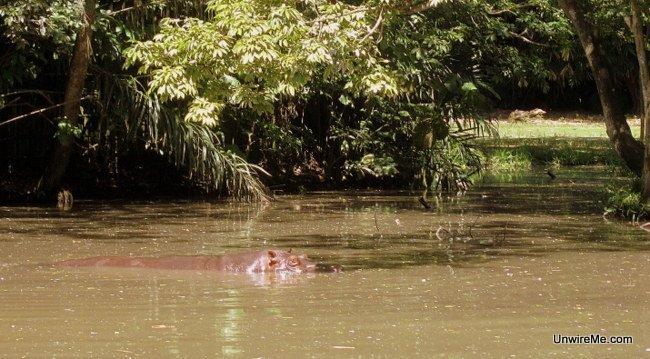Hippo swimming, AutoSafari Chapin Guatemala Safari