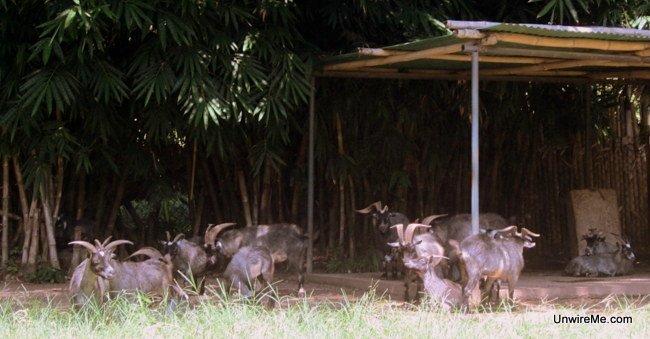 Goats at AutoSafari Chapin Guatemala Safari