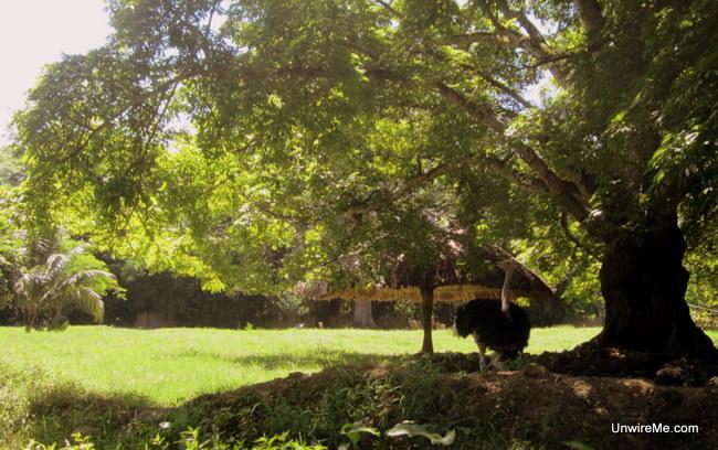 Ostrich AutoSafari Chapin Guatemala Safari