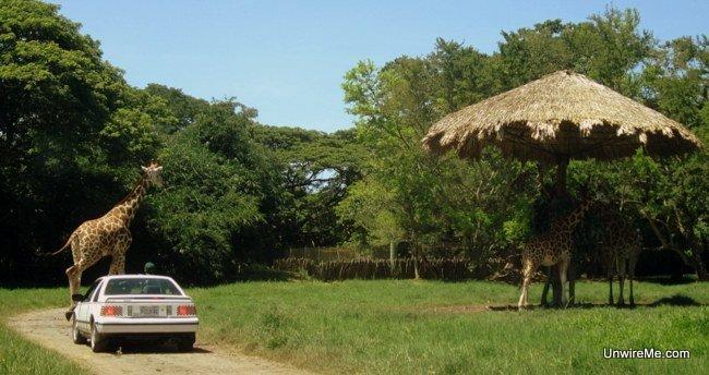 Giraffes at AutoSafari Chapin Guatemala