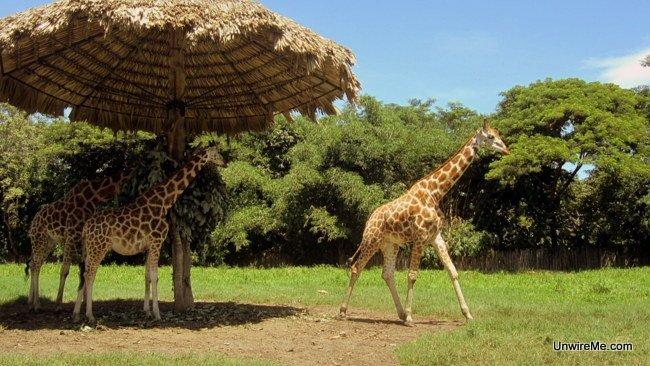 More giraffes at AutoSafari Chapin Guatemala