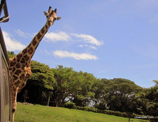 Giraffe at AutoSafari Chapin Guatemala