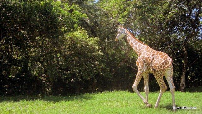 Giraffe walking away at AutoSafari Chapin Guatemala
