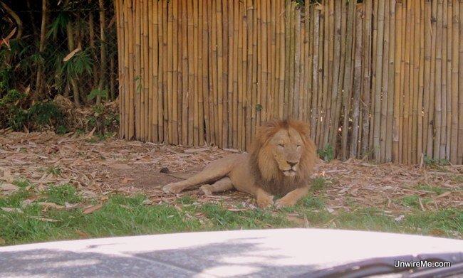 Lion resting at AutoSafari Chapin Guatemala