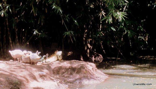 Iguanas at AutoSafari Chapin Guatemala