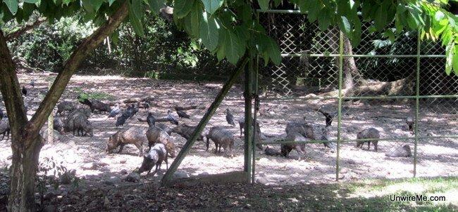 Warthogs at AutoSafari Chapin Guatemala