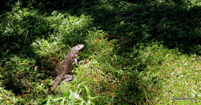More iguanas at AutoSafari Chapin Guatemala