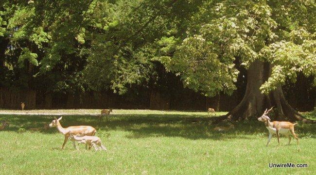 Deer at AutoSafari Chapin Guatemala