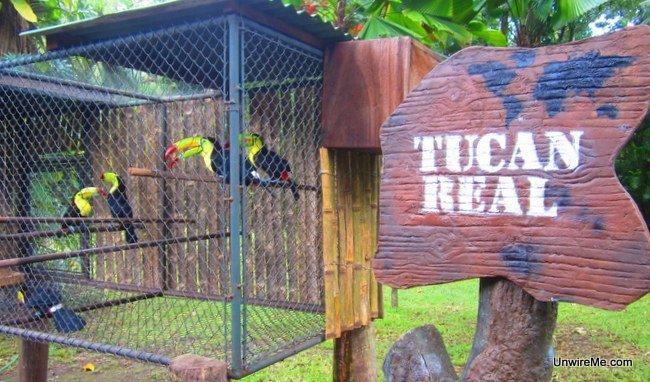 Royal toucans at AutoSafari Chapin Guatemala
