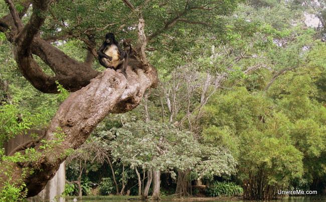 naughty monkey at AutoSafari Chapin Guatemala