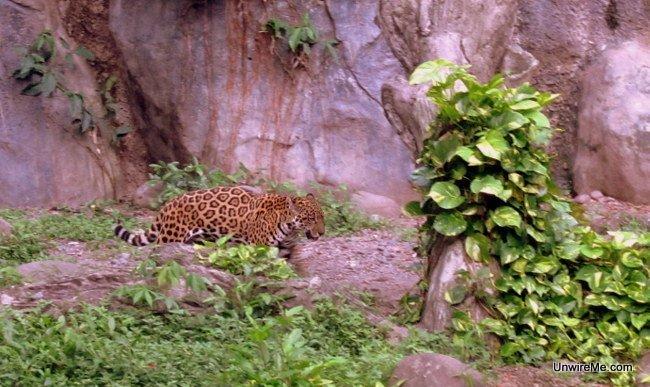 jaguar at AutoSafari Chapin Guatemala