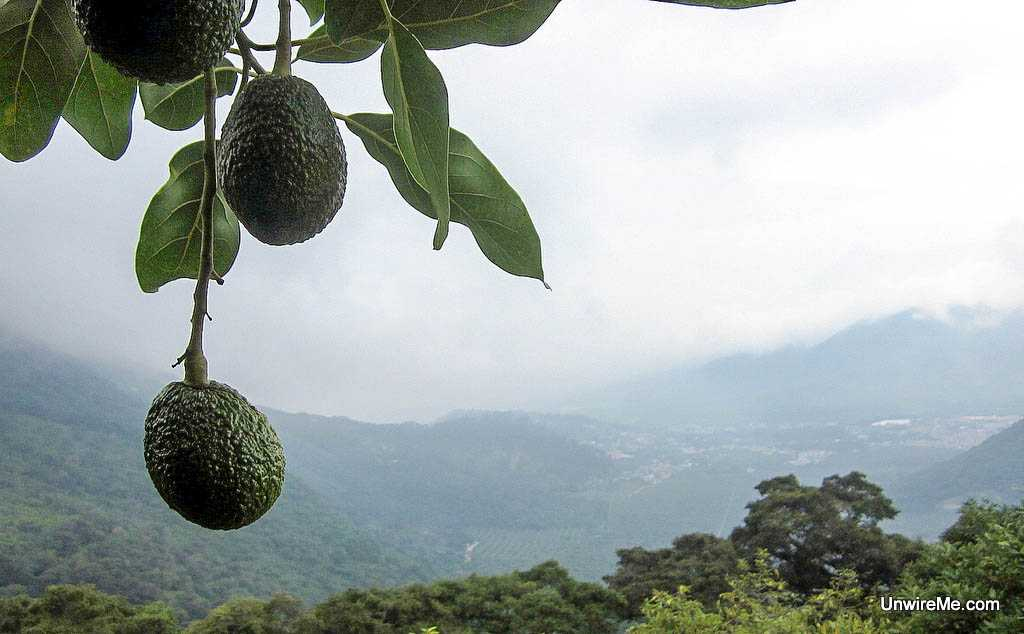 avocado farm, Antigua Guatemala
