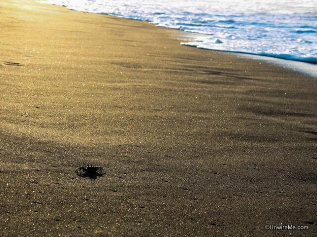 Crab walking on black sand beach