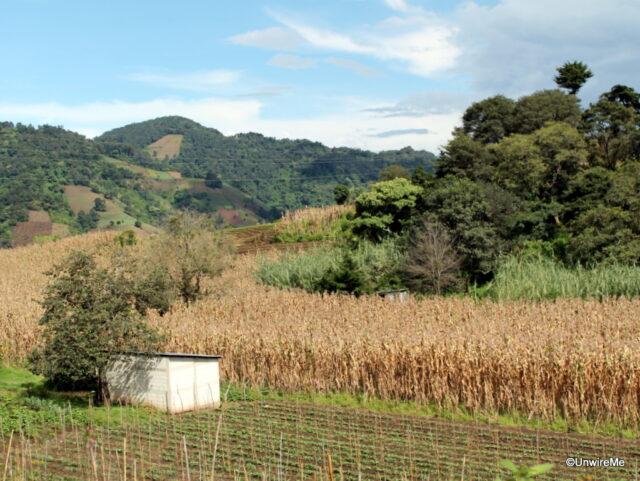 cornfields in Santa maria de jesus