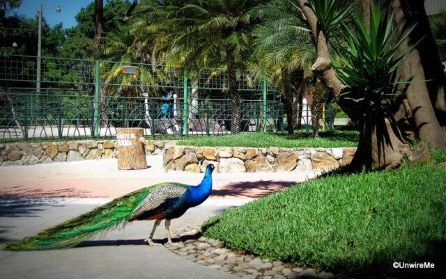 IRTRA Petapa Guatemala Peacock