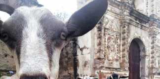 goat milk Antigua Guatemala