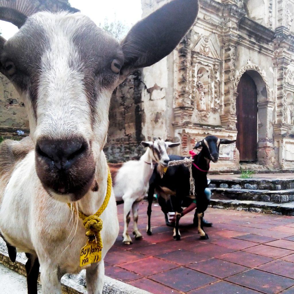 guatemala goat cheese